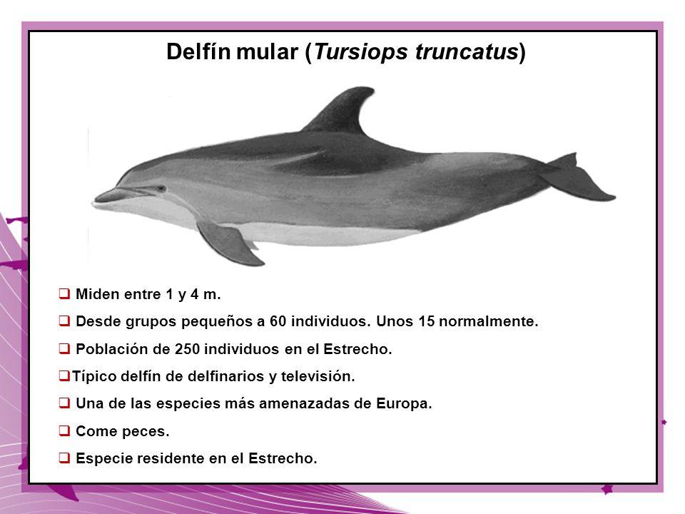 40 Delfín mular (Tursiops truncatus) Miden entre 1 y 4 m. Desde grupos pequeños a 60 individuos. Unos 15 normalmente. Población de 250 individuos en e
