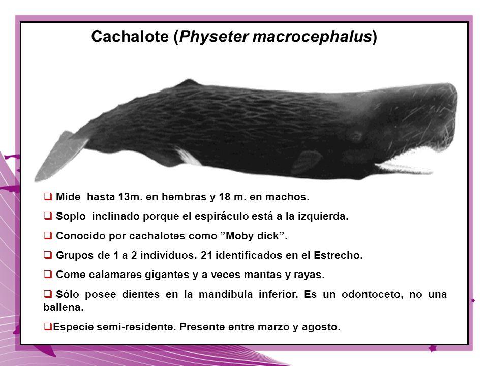 44 Cachalote (Physeter macrocephalus) Mide hasta 13m. en hembras y 18 m. en machos. Soplo inclinado porque el espiráculo está a la izquierda. Conocido