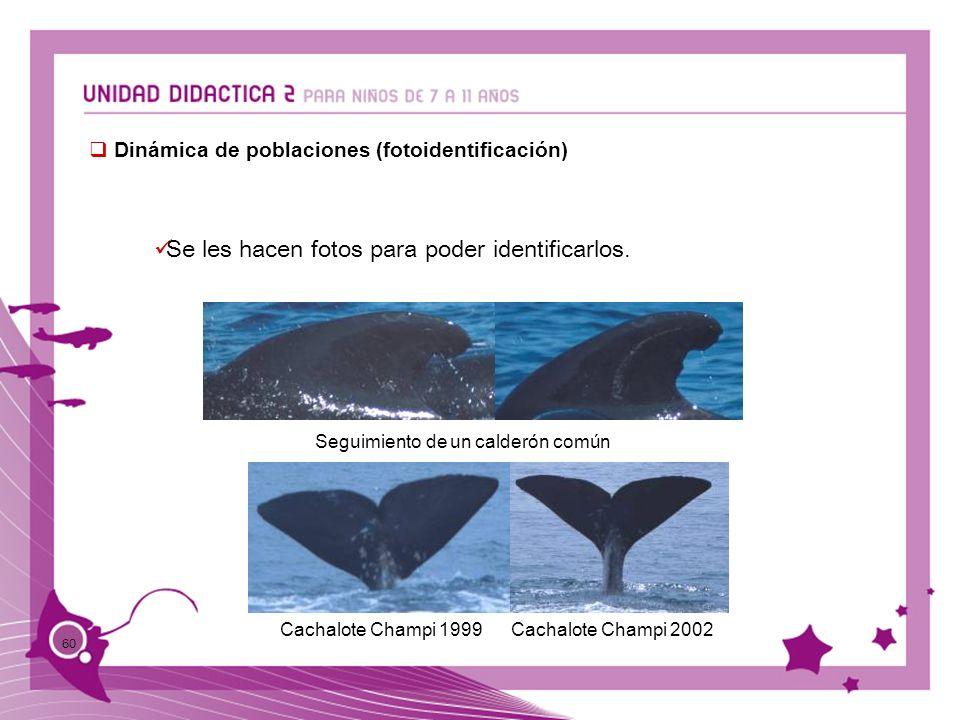 60 Dinámica de poblaciones (fotoidentificación) Se les hacen fotos para poder identificarlos. Seguimiento de un calderón común Cachalote Champi 1999Ca
