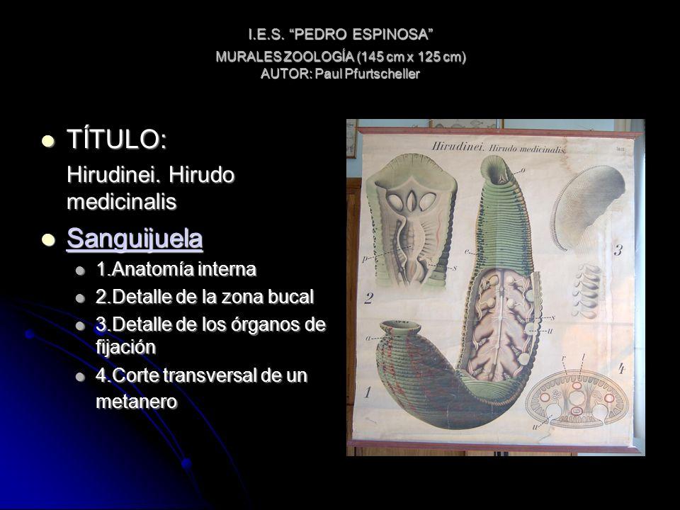 I.E.S. PEDRO ESPINOSA MURALES ZOOLOGÍA (145 cm x 125 cm) AUTOR: Paul Pfurtscheller TÍTULO: TÍTULO: Hirudinei. Hirudo medicinalis Sanguijuela Sanguijue