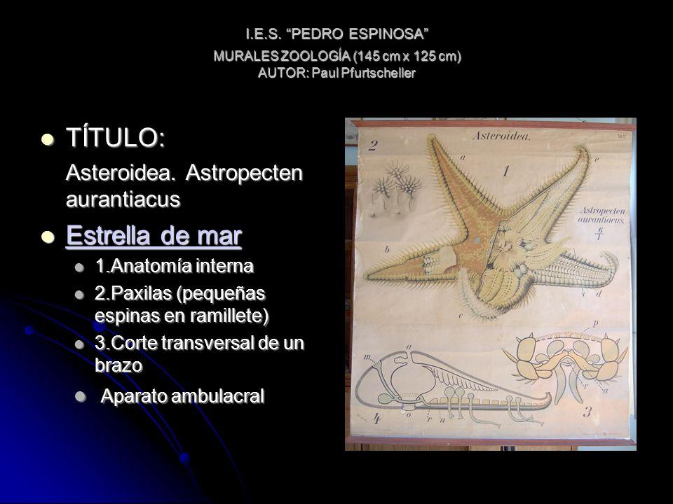 I.E.S. PEDRO ESPINOSA MURALES ZOOLOGÍA (145 cm x 125 cm) AUTOR: Paul Pfurtscheller TÍTULO: TÍTULO: Asteroidea. Astropecten aurantiacus Estrella de mar