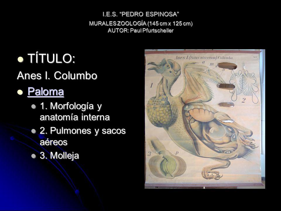 I.E.S. PEDRO ESPINOSA MURALES ZOOLOGÍA (145 cm x 125 cm) AUTOR: Paul Pfurtscheller TÍTULO: TÍTULO: Anes I. Columbo Paloma Paloma Paloma 1. Morfología