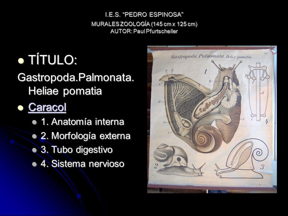 I.E.S. PEDRO ESPINOSA MURALES ZOOLOGÍA (145 cm x 125 cm) AUTOR: Paul Pfurtscheller TÍTULO: TÍTULO: Gastropoda.Palmonata. Heliae pomatia Caracol Caraco