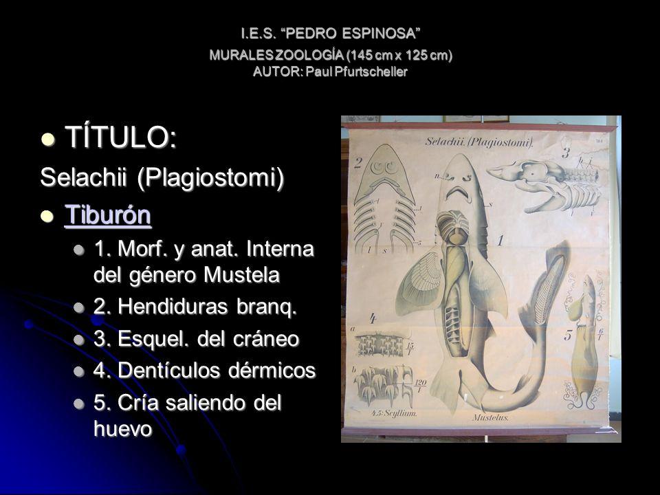 I.E.S. PEDRO ESPINOSA MURALES ZOOLOGÍA (145 cm x 125 cm) AUTOR: Paul Pfurtscheller TÍTULO: TÍTULO: Selachii (Plagiostomi) Tiburón Tiburón Tiburón 1. M