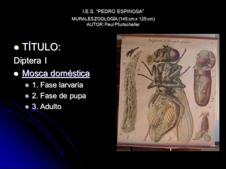 I.E.S. PEDRO ESPINOSA MURALES ZOOLOGÍA (145 cm x 125 cm) AUTOR: Paul Pfurtscheller TÍTULO: TÍTULO: Diptera I Mosca doméstica Mosca doméstica Mosca dom