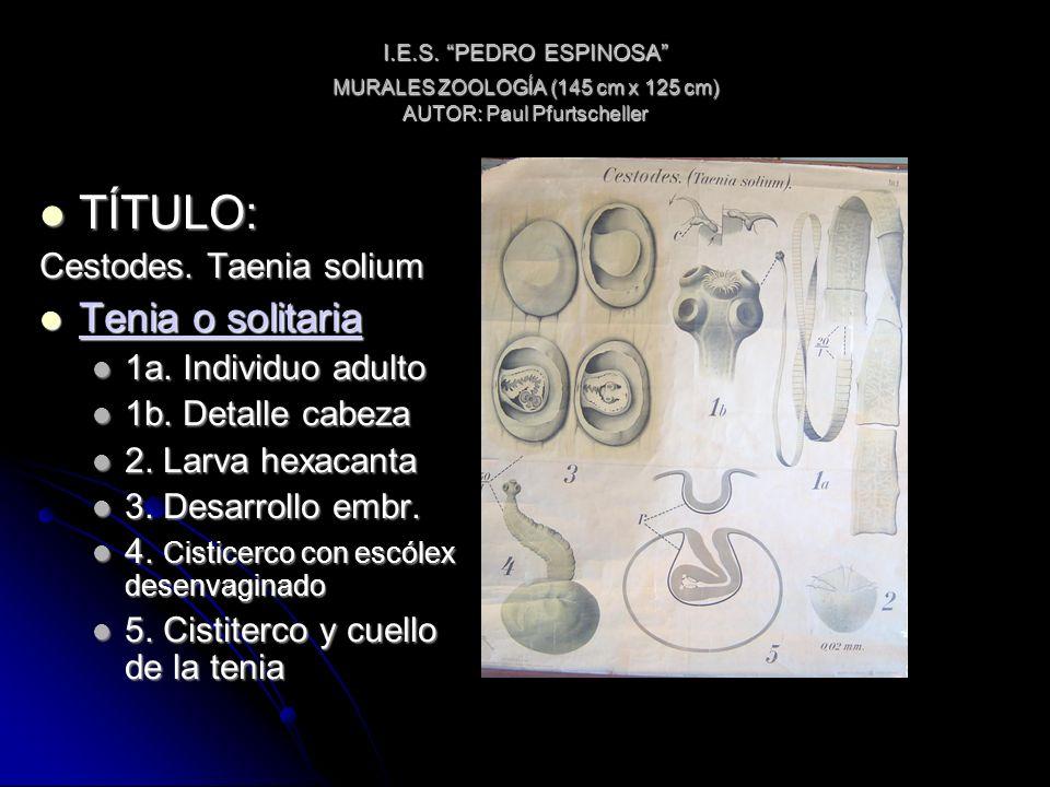 I.E.S. PEDRO ESPINOSA MURALES ZOOLOGÍA (145 cm x 125 cm) AUTOR: Paul Pfurtscheller TÍTULO: TÍTULO: Cestodes. Taenia solium Tenia o solitaria Tenia o s
