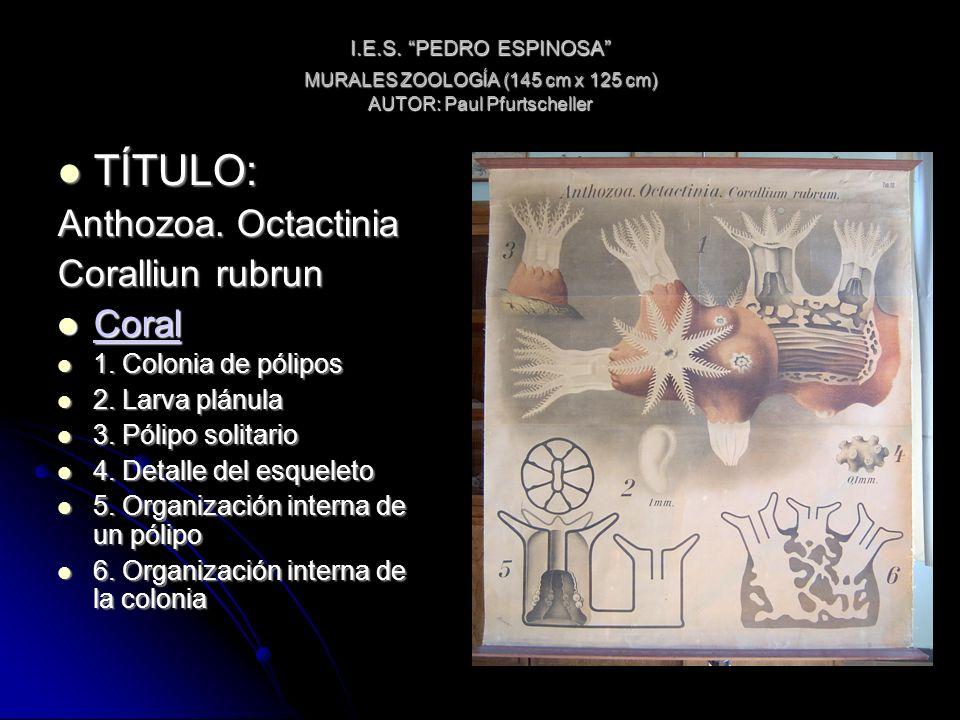 I.E.S. PEDRO ESPINOSA MURALES ZOOLOGÍA (145 cm x 125 cm) AUTOR: Paul Pfurtscheller TÍTULO: TÍTULO: Anthozoa. Octactinia Coralliun rubrun Coral Coral C