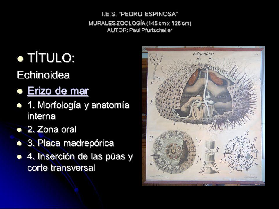 I.E.S. PEDRO ESPINOSA MURALES ZOOLOGÍA (145 cm x 125 cm) AUTOR: Paul Pfurtscheller TÍTULO: TÍTULO:Echinoidea Erizo de mar Erizo de mar Erizo de mar Er