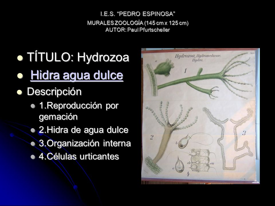 I.E.S. PEDRO ESPINOSA MURALES ZOOLOGÍA (145 cm x 125 cm) AUTOR: Paul Pfurtscheller TÍTULO: Hydrozoa TÍTULO: Hydrozoa Hidra agua dulce Hidra agua dulce
