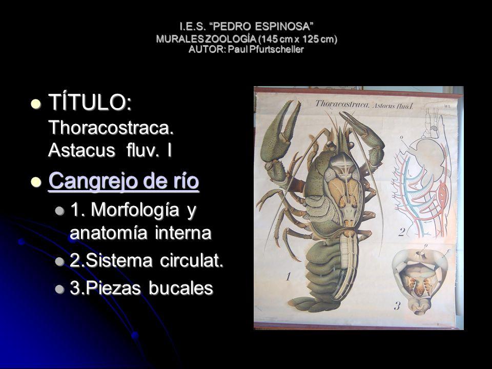 I.E.S. PEDRO ESPINOSA MURALES ZOOLOGÍA (145 cm x 125 cm) AUTOR: Paul Pfurtscheller TÍTULO: Thoracostraca. Astacus fluv. I TÍTULO: Thoracostraca. Astac