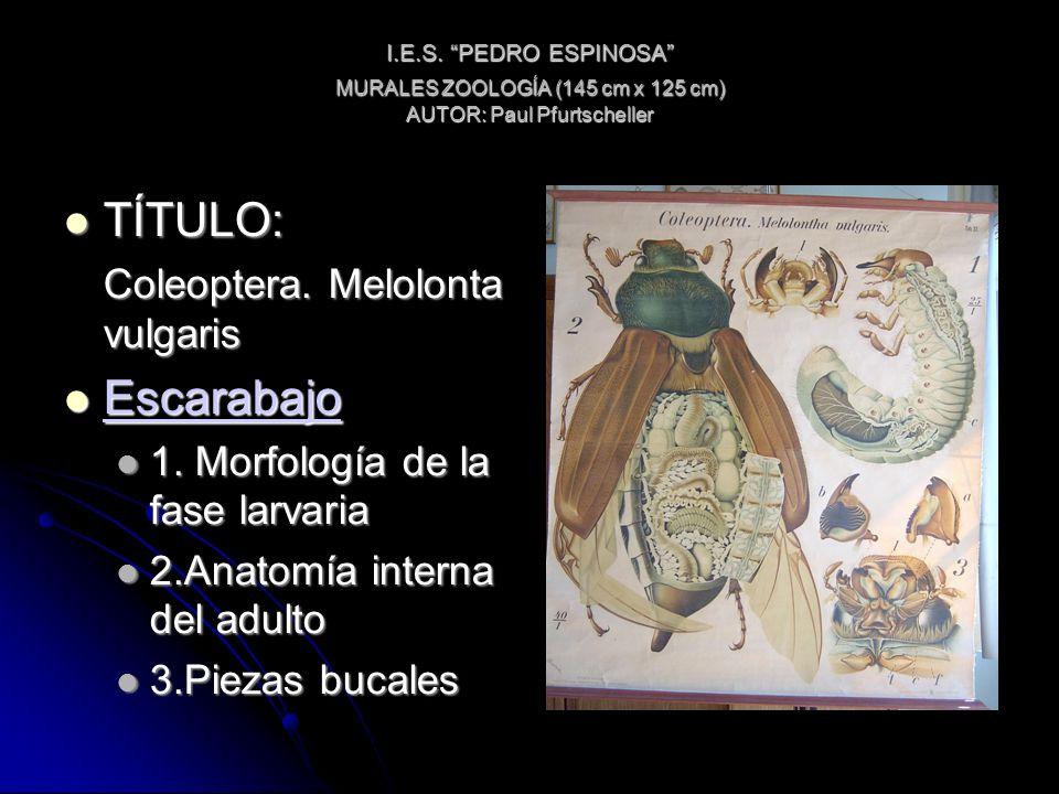 I.E.S. PEDRO ESPINOSA MURALES ZOOLOGÍA (145 cm x 125 cm) AUTOR: Paul Pfurtscheller TÍTULO: TÍTULO: Coleoptera. Melolonta vulgaris Escarabajo Escarabaj
