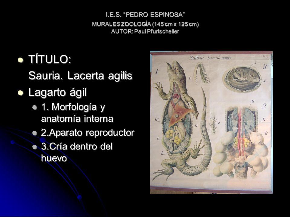 I.E.S. PEDRO ESPINOSA MURALES ZOOLOGÍA (145 cm x 125 cm) AUTOR: Paul Pfurtscheller TÍTULO: TÍTULO: Sauria. Lacerta agilis Lagarto ágil Lagarto ágil 1.