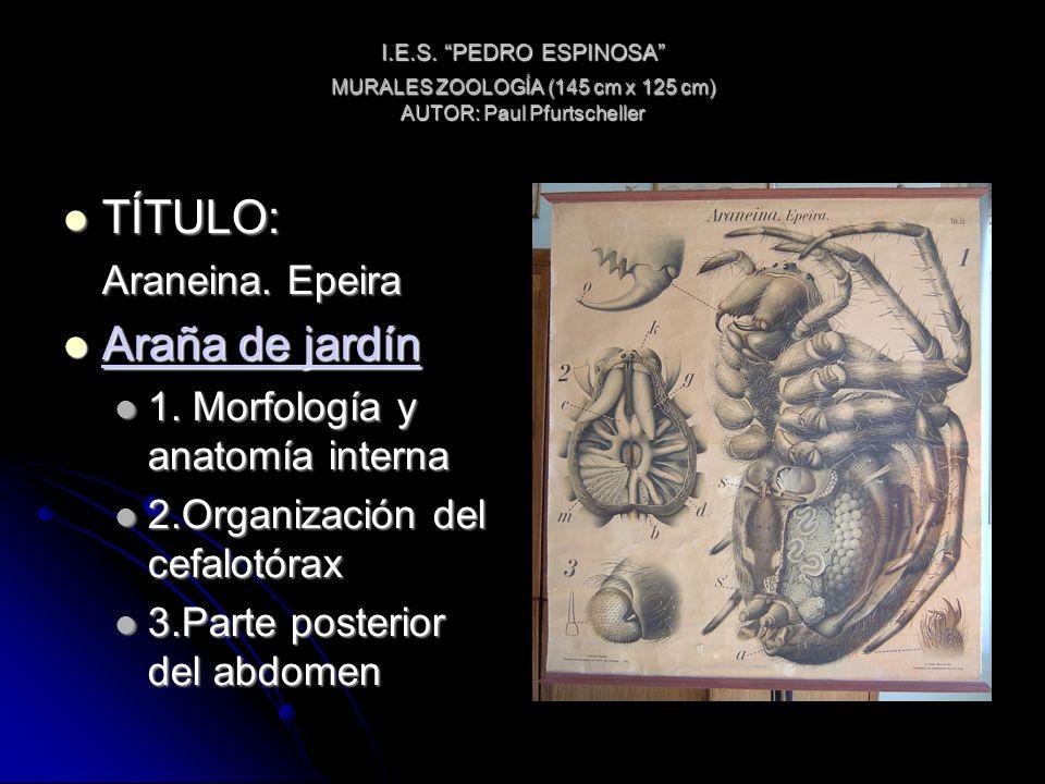 I.E.S. PEDRO ESPINOSA MURALES ZOOLOGÍA (145 cm x 125 cm) AUTOR: Paul Pfurtscheller TÍTULO: TÍTULO: Araneina. Epeira Araña de jardín Araña de jardín Ar