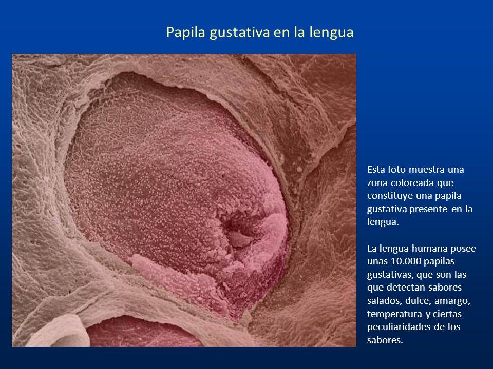 En esta imagen se muestran los vasos sanguíneos retinales que salen del disco negro óptico. El disco óptico es un punto ciego porque no se encuentran