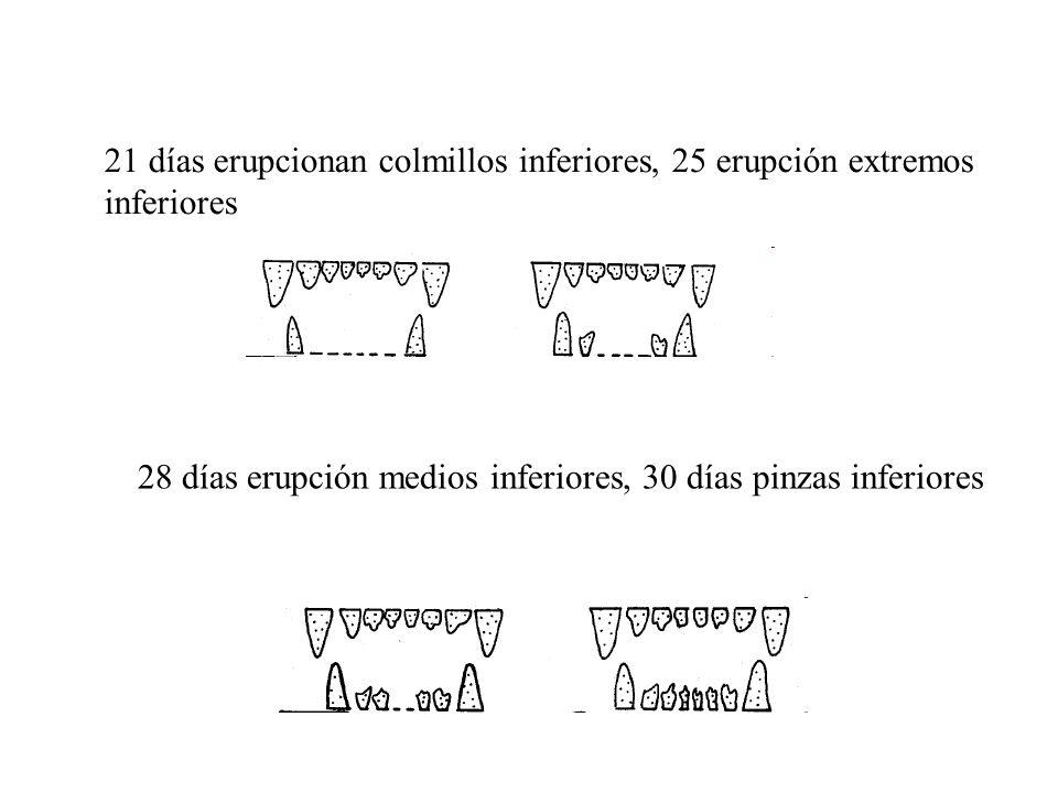 Del mes a los dos meses y medio, se produce el nivelamiento (enrasamiento) de las pinzas de ambas mandíbulas