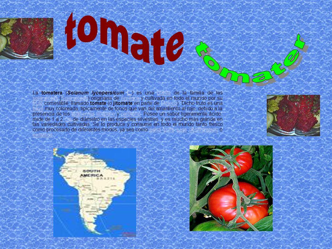 La tomatera (Solanum lycopersicum L.) es una planta de la familia de las solanáceas (Solanaceae) originaria de América y cultivada en todo el mundo po
