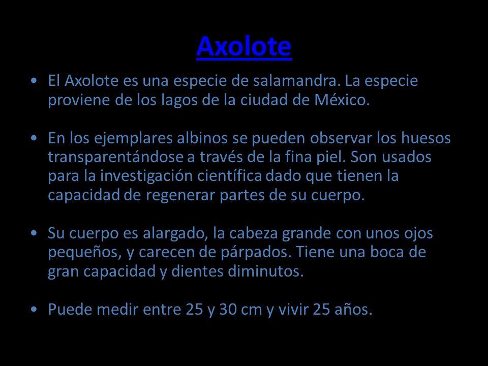 Axolote El Axolote es una especie de salamandra. La especie proviene de los lagos de la ciudad de México. En los ejemplares albinos se pueden observar