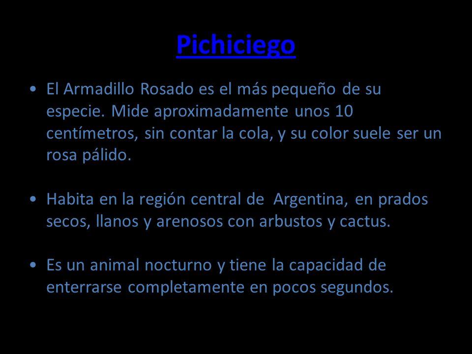 Pichiciego El Armadillo Rosado es el más pequeño de su especie. Mide aproximadamente unos 10 centímetros, sin contar la cola, y su color suele ser un
