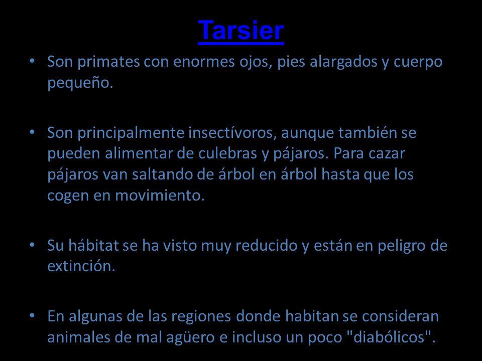 Tarsier Son primates con enormes ojos, pies alargados y cuerpo pequeño. Son principalmente insectívoros, aunque también se pueden alimentar de culebra