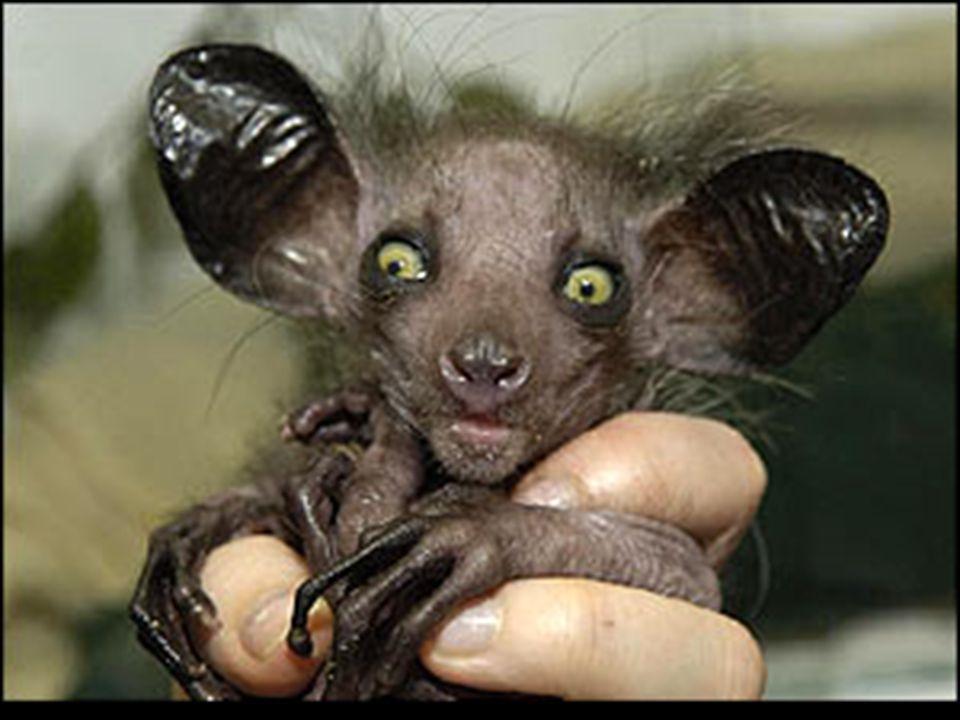Aye Habita en la selva tropical de Madagascar.