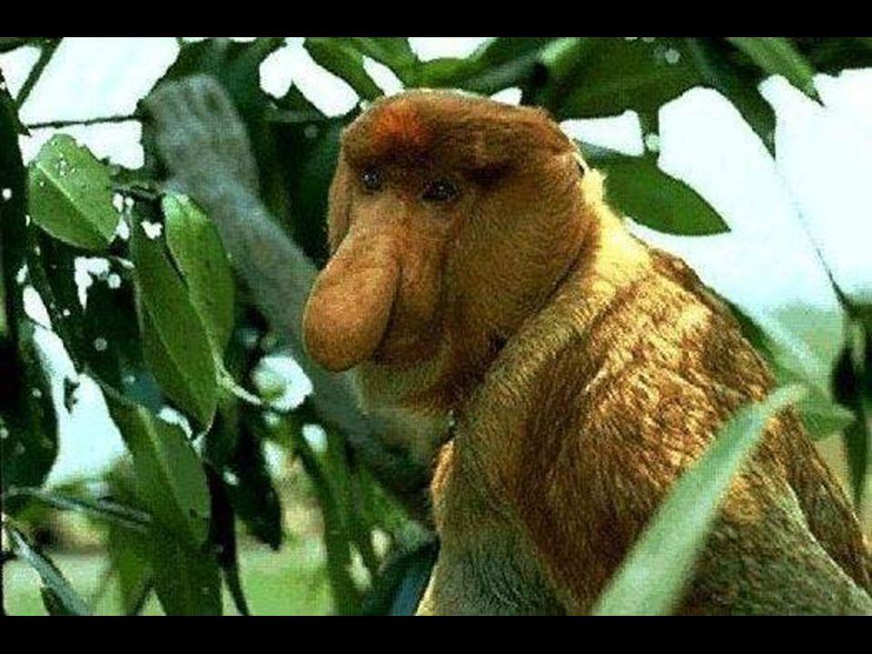 Mono narigudo Es inconfundible por su larga y abultada nariz y su cara rosada.