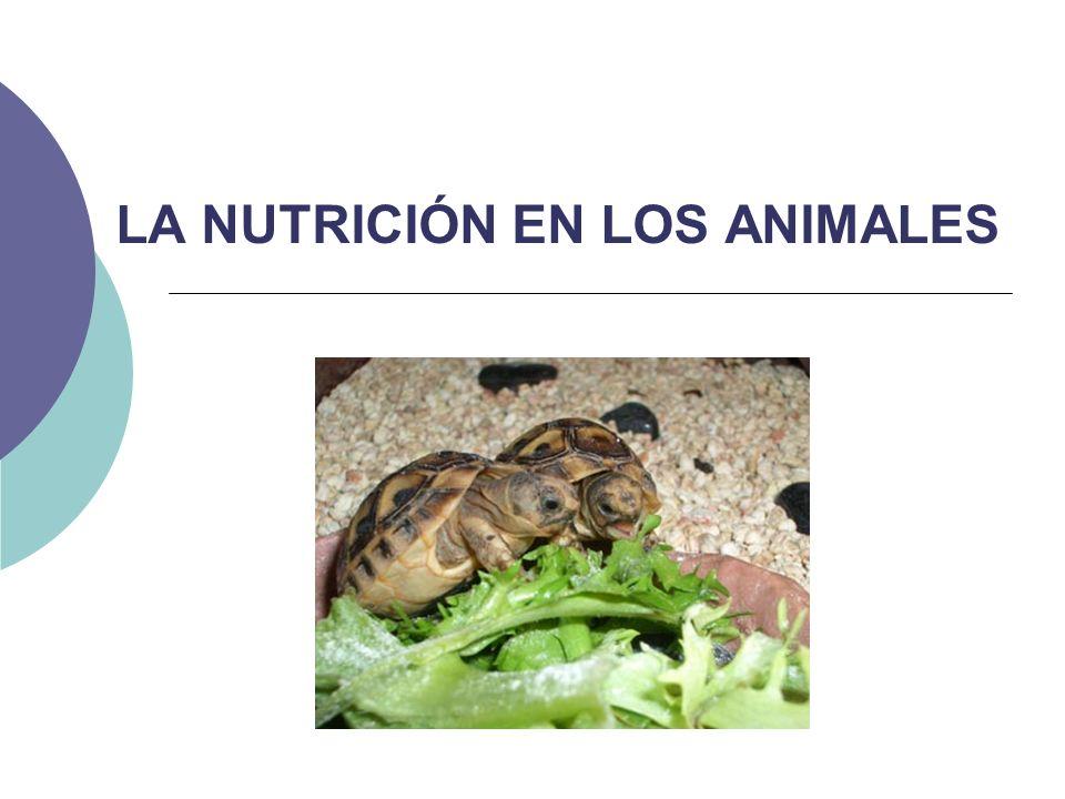 Todos los animales son HETERÓTROFOS (elaboran sus propias moléculas orgánicas a partir de otras ya existentes, para obtener la materia y energía) Conjunto de procesos por los cuales las células obtienen materia y energía NUTRICIÓN Etapas en la función de nutrición INGESTIÓN DIGESTIÓN CIRCULACIÓN EXCRECIÓN