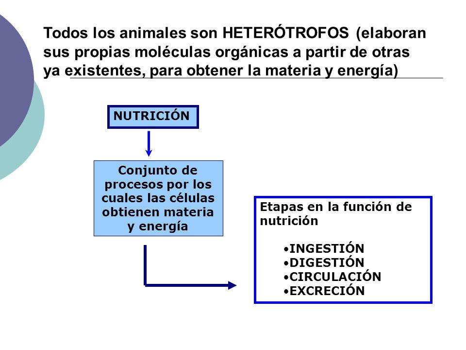 INTESTINO DELGADO Duodeno, yeyuno e íleon Longitud variable: largo en herbívoros y corto en carnívoros