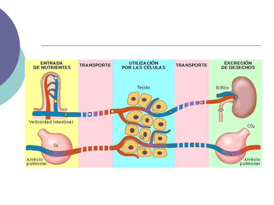 GLÁNDULAS SALIVALES Produce la saliva Agua: disuelve las partículas para estimular las papilas gustativas Mucina: lubricar el bolo y favorecer la deglución Ptialina (Amilasa): Hidroliza el almidón y glucógeno