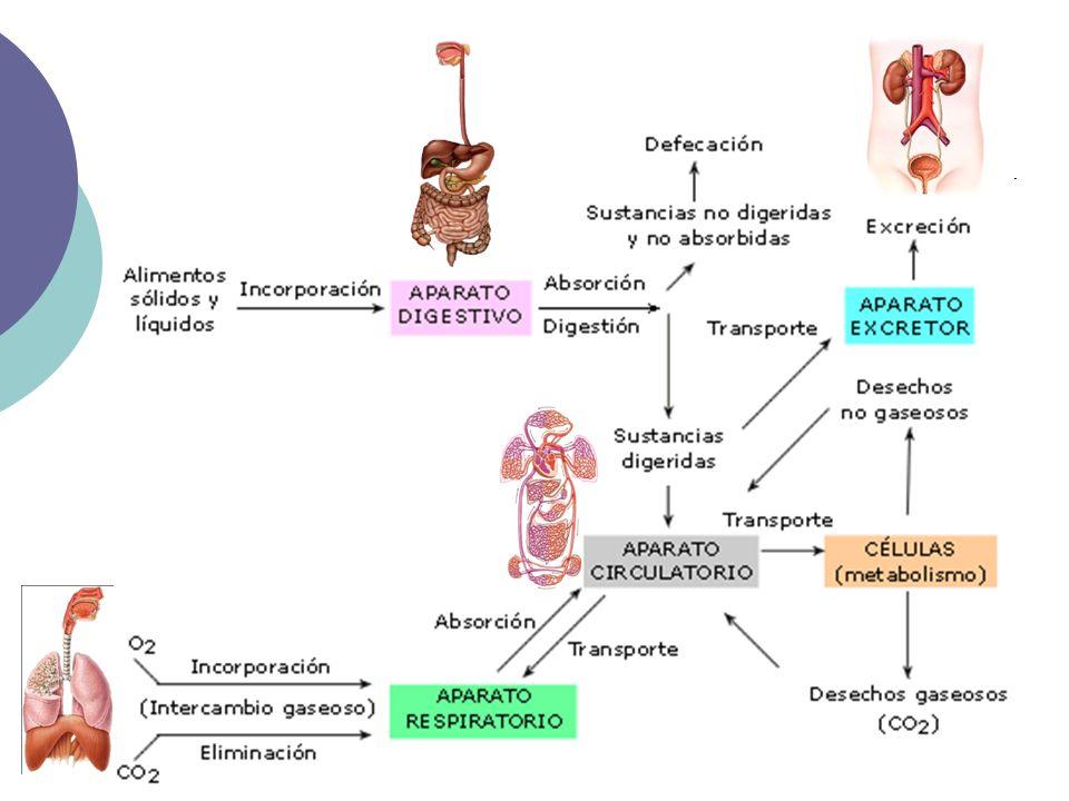 Aparato digestivo completo: Boca central con linterna de Aristóteles Esófago corto Estómago del que parten un intestino ramificado en cinco sacos intestinales Ano en posición dorsal EQUINODERMOS