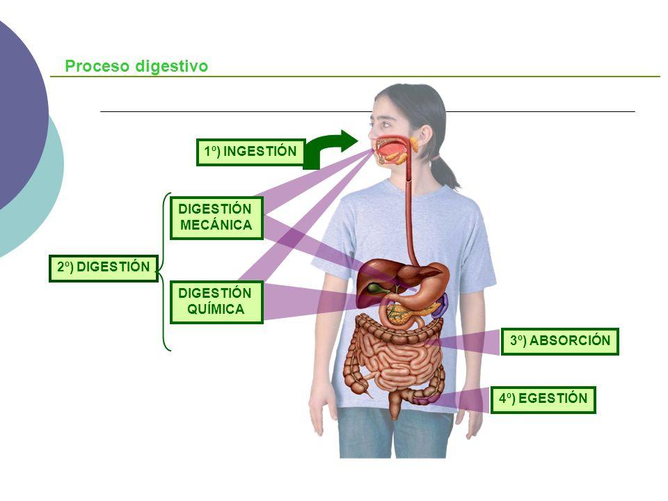 ESÓFAGO Descenso de los alimentos al estómago Tratamiento mecánico Digestión química de la saliva Segrega sustancias mucoides que lubrifica el bolo Ensanchamiento en aves: Buche