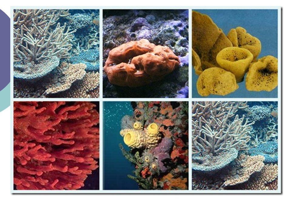 PORÍFEROS Pinacocitos: células de recubrimiento epitelial Ósculo (salida agua) Ostiolos (poros entrada de agua) DIGESTIÓN INTRACELULAR.