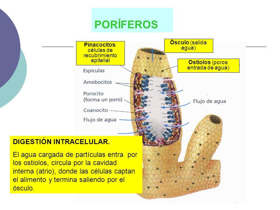 INTESTINO GRUESO Absorción de agua y sales minerales Concentra las sustancias no asimiladas formando las heces fecales Acción de bacterias simbiontes Secreción de mucus Expulsión de las heces fecales