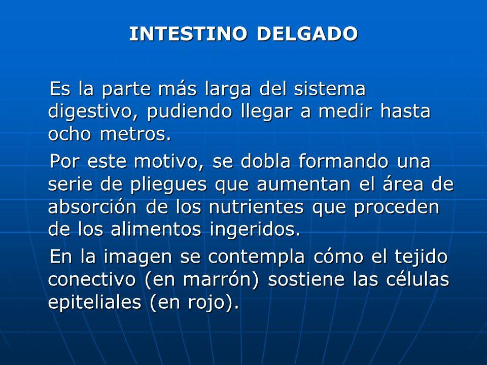 INTESTINO DELGADO Es la parte más larga del sistema digestivo, pudiendo llegar a medir hasta ocho metros. Es la parte más larga del sistema digestivo,