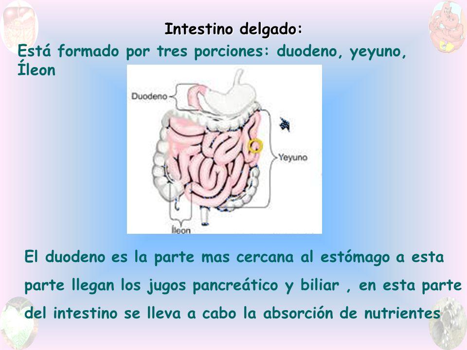 Intestino delgado: Está formado por tres porciones: duodeno, yeyuno, Íleon El duodeno es la parte mas cercana al estómago a esta parte llegan los jugos pancreático y biliar, en esta parte del intestino se lleva a cabo la absorción de nutrientes
