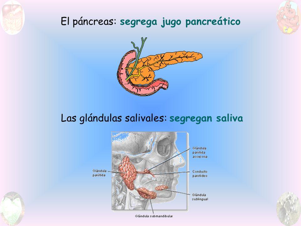 El páncreas: segrega jugo pancreático Las glándulas salivales: segregan saliva