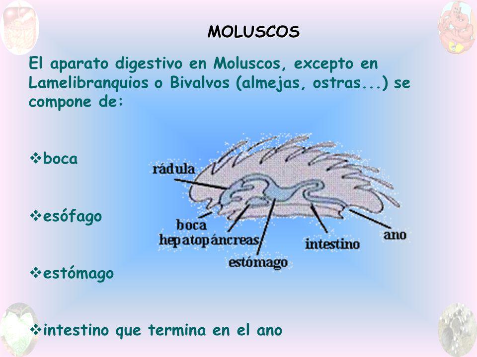 El aparato digestivo en Moluscos, excepto en Lamelibranquios o Bivalvos (almejas, ostras...) se compone de: boca esófago estómago intestino que termina en el ano MOLUSCOS