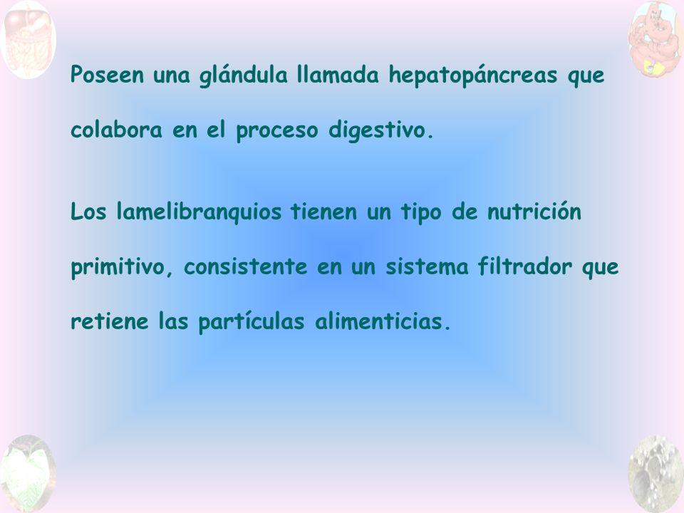 Poseen una glándula llamada hepatopáncreas que colabora en el proceso digestivo.