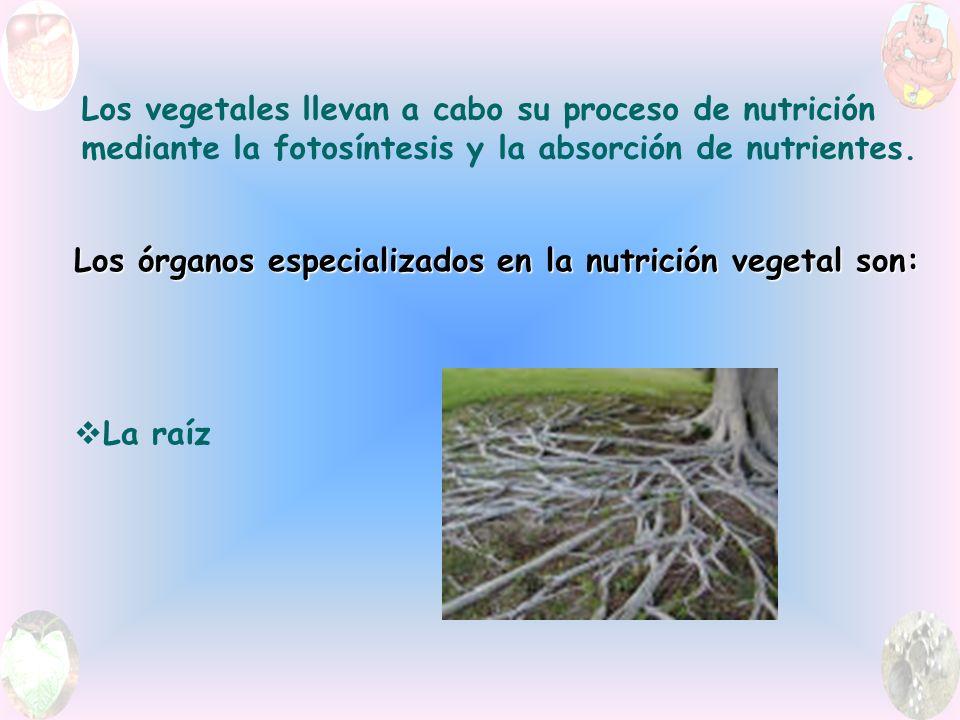 Los vegetales llevan a cabo su proceso de nutrición mediante la fotosíntesis y la absorción de nutrientes.