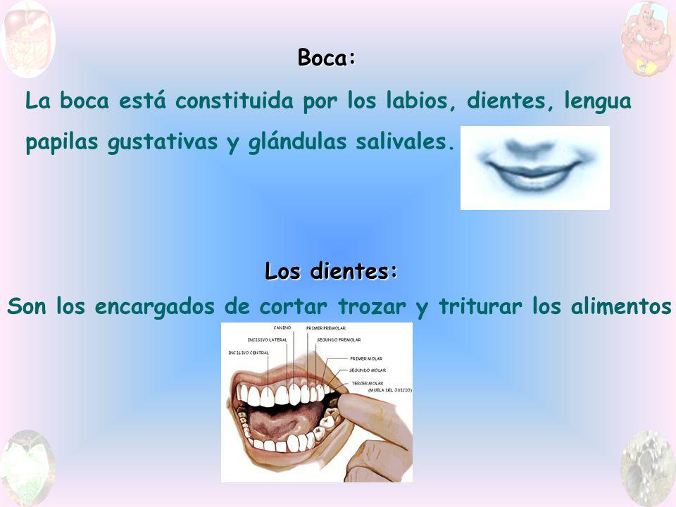 Boca: La boca está constituida por los labios, dientes, lengua papilas gustativas y glándulas salivales.
