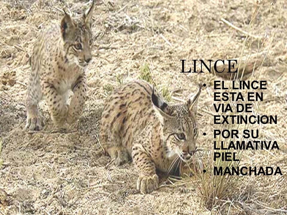 LINCE EL LINCE ESTA EN VIA DE EXTINCION POR SU LLAMATIVA PIEL MANCHADA.