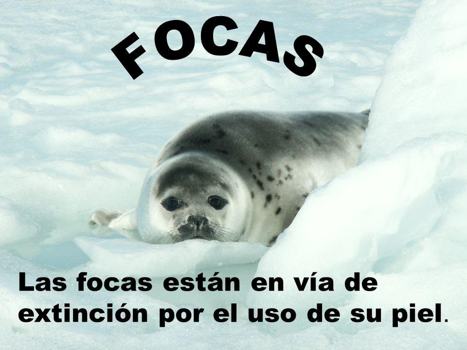 Las focas están en vía de extinción por el uso de su piel.
