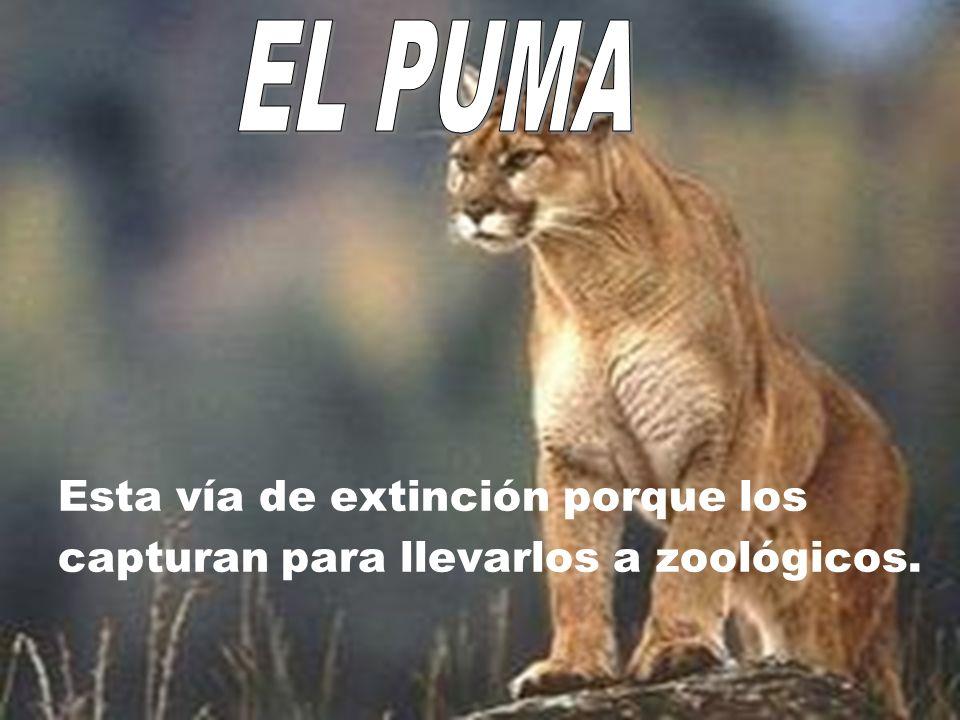 Esta vía de extinción porque los capturan para llevarlos a zoológicos.