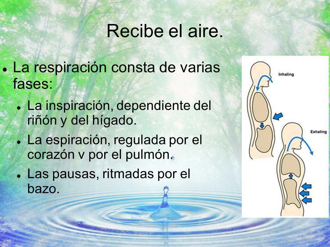 Recibe el aire. La respiración consta de varias fases: La inspiración, dependiente del riñón y del hígado. La espiración, regulada por el corazón v po