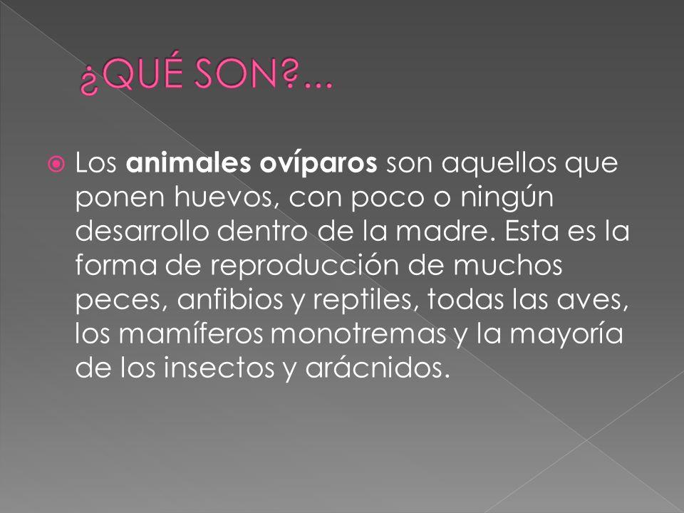 Los animales ovíparos son aquellos que ponen huevos, con poco o ningún desarrollo dentro de la madre.