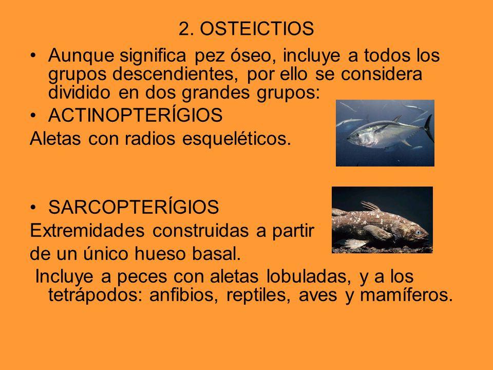 2. OSTEICTIOS Aunque significa pez óseo, incluye a todos los grupos descendientes, por ello se considera dividido en dos grandes grupos: ACTINOPTERÍGI