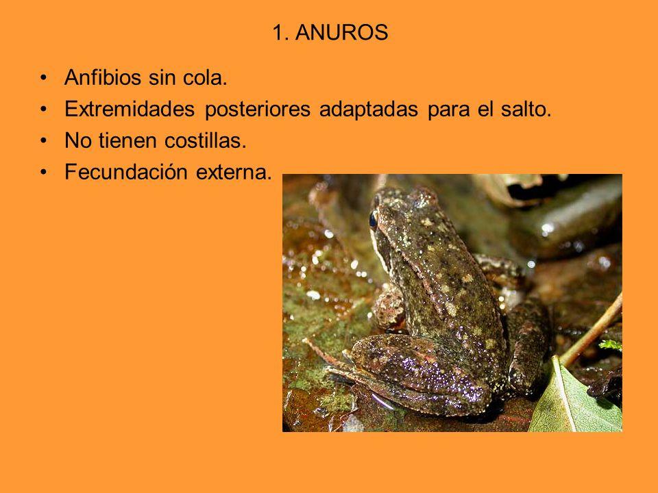 1. ANUROS Anfibios sin cola. Extremidades posteriores adaptadas para el salto. No tienen costillas. Fecundación externa.