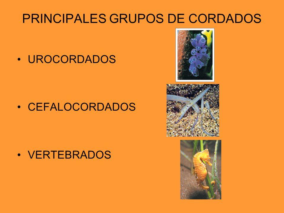 PRINCIPALES GRUPOS DE CORDADOS UROCORDADOS CEFALOCORDADOS VERTEBRADOS