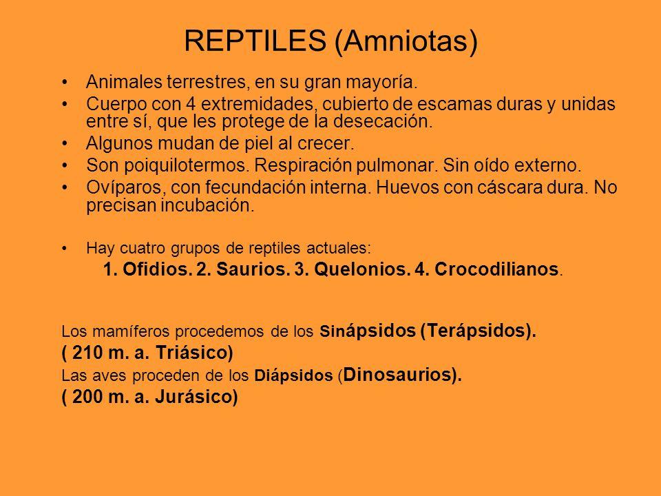 REPTILES (Amniotas) Animales terrestres, en su gran mayoría. Cuerpo con 4 extremidades, cubierto de escamas duras y unidas entre sí, que les protege d