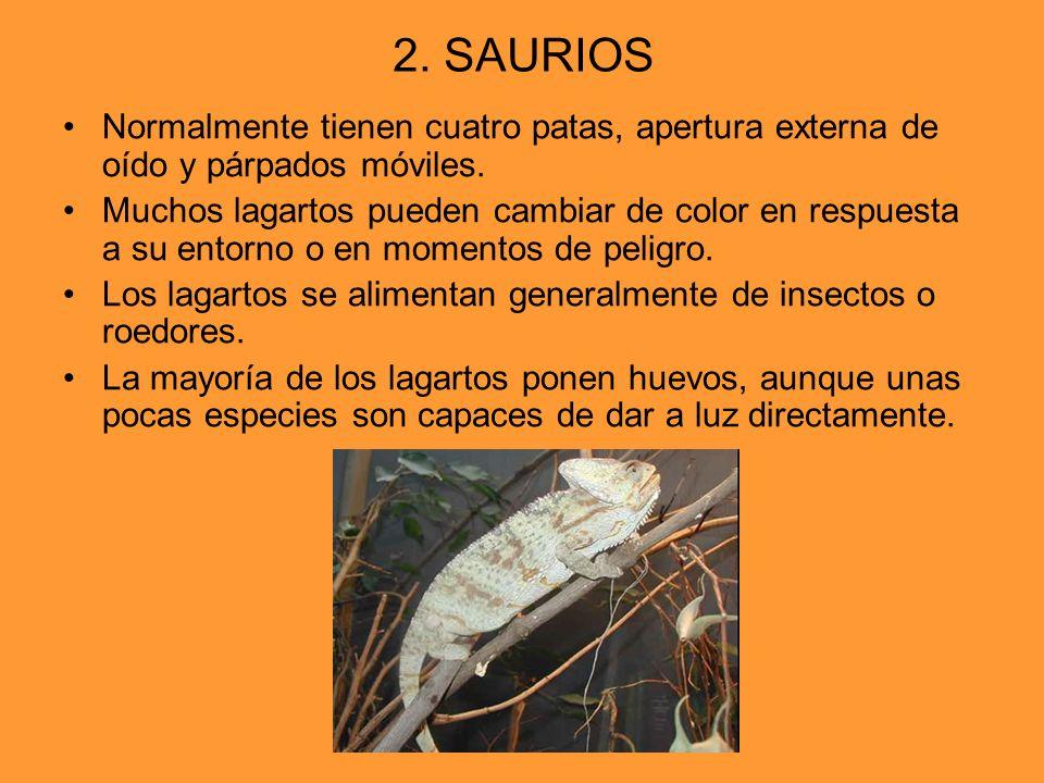 2. SAURIOS Normalmente tienen cuatro patas, apertura externa de oído y párpados móviles. Muchos lagartos pueden cambiar de color en respuesta a su ent