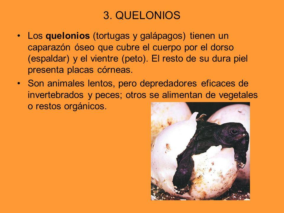 3. QUELONIOS Los quelonios (tortugas y galápagos) tienen un caparazón óseo que cubre el cuerpo por el dorso (espaldar) y el vientre (peto). El resto d